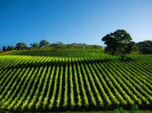 Vineyard-Root-Dip22