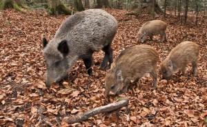 Lotta ai danni da cinghiali nelle aree protette: le azioni dell'Ente di Gestione   per preservare l'equilibrio ecologico e le coltivazioni agricole