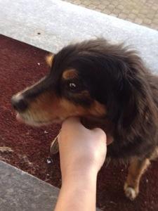 Trovata cagnolina senza microchip a Calamandrana