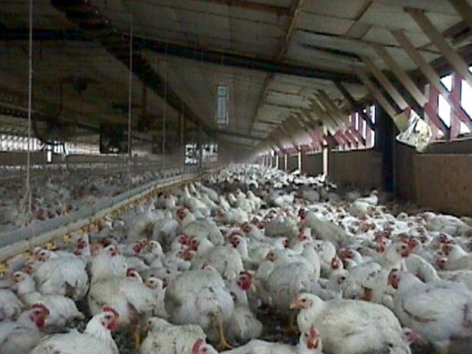 Aviaria: un milione di animali abbattuti