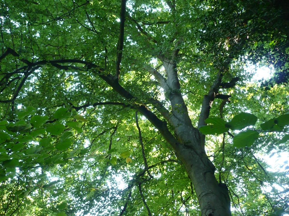 """Il """"grande faggio"""" del parco naturale di Rocchetta Tanaro dichiarato albero monumentale"""