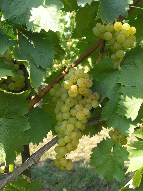 Asti Spumante e Moscato d'Asti docg: rese delle uve a 90 quintali per ettaro