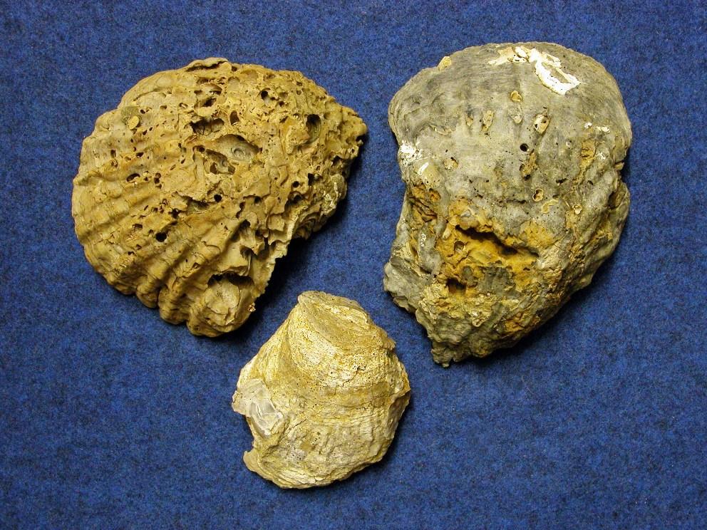 Quegli strani sassi del Tanaro sono ostriche fossili di tre milioni di anni fa