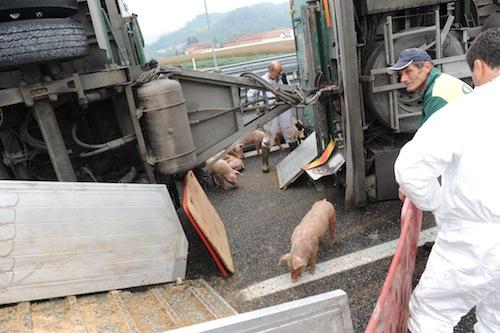 Camion carico di maiali si rovescia sull'A33: la fotogallery