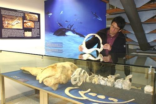 Quando nell'Astigiano c'era il mare: balene e delfini sono pronti a mostrarsi