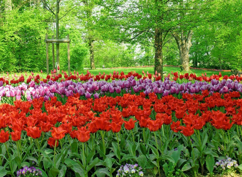 Messer Tulipano fiorisce a Pralormo: le foto