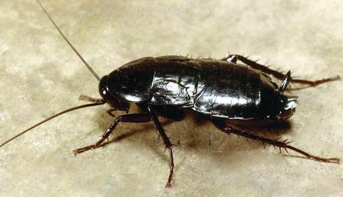 Debellati gli scarafaggi a San Rocco