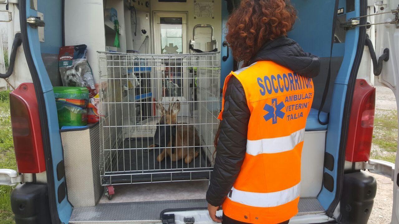 Capriolo salvato dall'Ambulanza Veterinaria di Asti