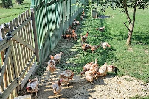 Le galline di via Carducci hanno trovato casa