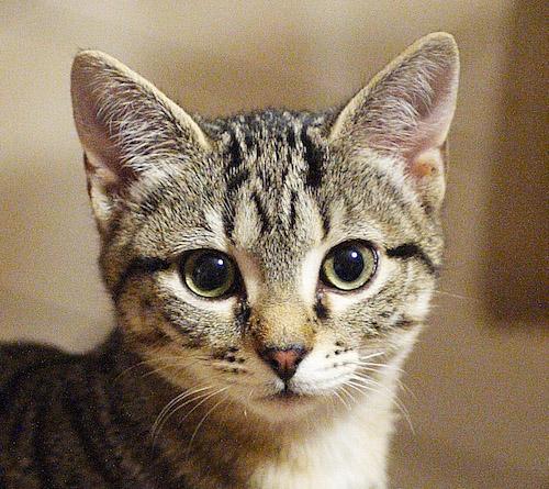 Identificato dall'istituto zooprofilattico di Torino il primo caso in Italia di variante inglese sul gatto