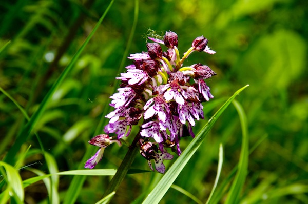 Orchidee protagoniste di due appuntamenti nell'Astigiano