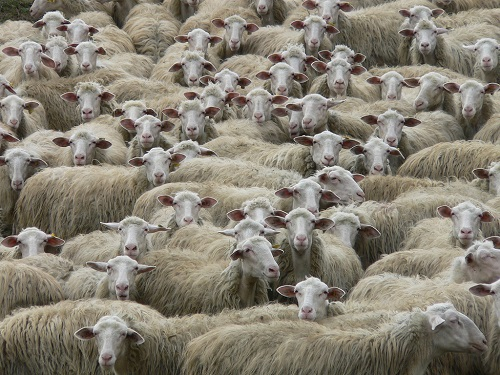 """Caso di Scrapie su un gregge di ovini. Asl At: """"Situazione sotto controllo e nessun pericolo per l'uomo e per l'ambiente"""""""