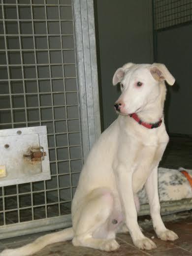 Red, cucciolo bianco e un po' vergognoso, aspetta di essere adottato