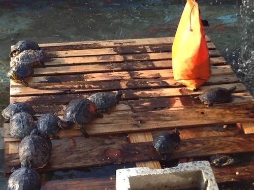 Pulizie di primavera per le tartarughe del parco della Resistenza
