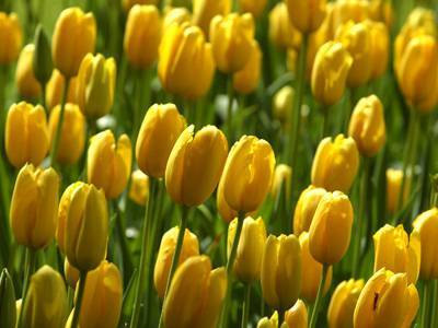 A Govone si inaugura la primavera con Tulipani a Corte