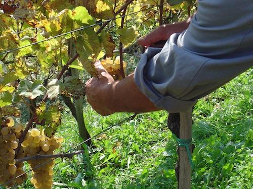 Controlli dell'Ispettorato del lavoro nelle vigne dell'Astigiano