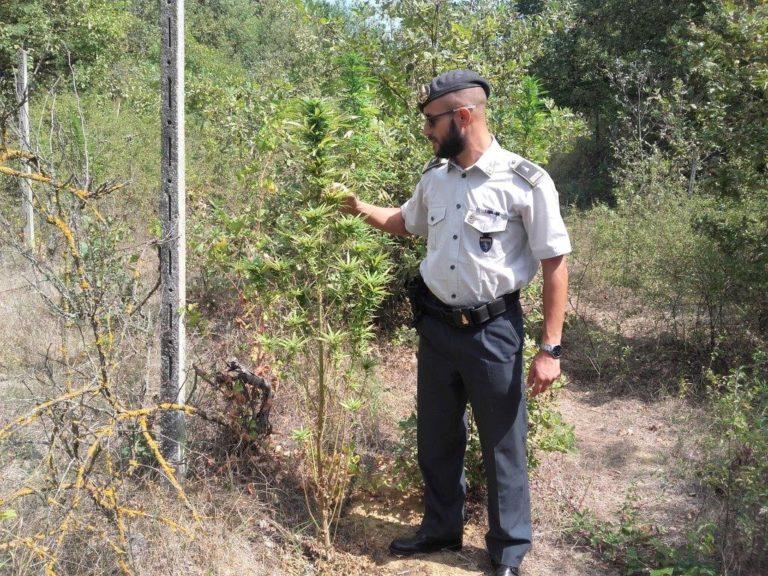Coltivazione di marijuana in un vigneto abbandonato di Valleandona