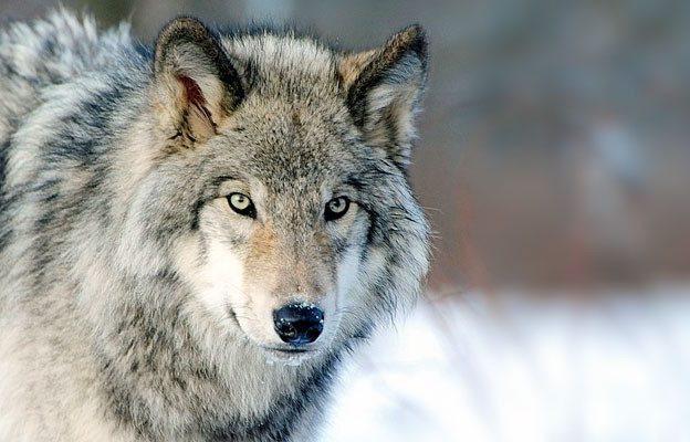 Danni causati dai lupi: aperto il bando per favorire gli allevatori piemontesi