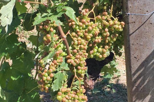 Ecco i prezzi all'ingrosso delle uve in apertura della vendemmia 2021