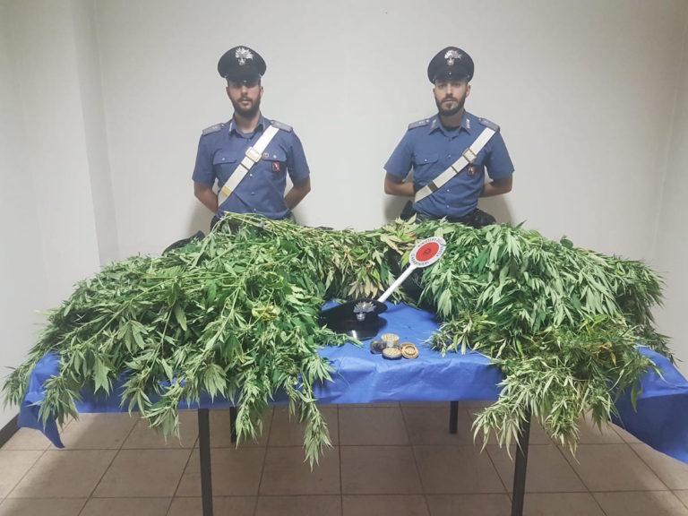 Serra di marijuana scoperta a Mombaruzzo d'Asti