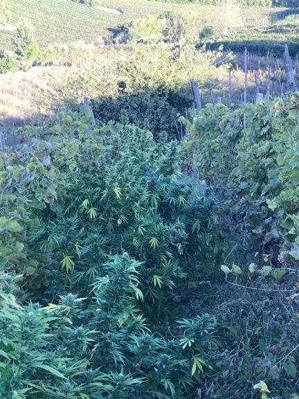Nizza Monferrato, coltivava marijuana in vigna e la teneva nel suo bar: arrestato dai carabinieri