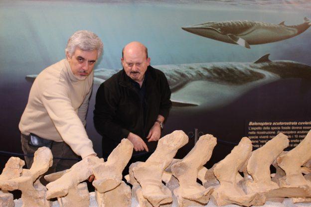 Al Museo Paleontologico di Asti è arrivato l'esperto di balene fossili