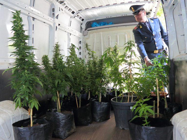 La finanza di Asti arresta un vivaista di marijuana