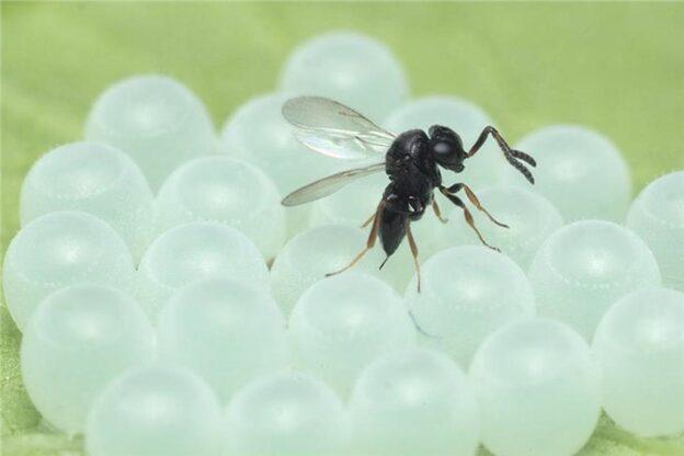 Contro la cimice asiatica arriva la vespa Samurai: gli insetti antagonisti sono stati rilasciati in 15 siti dell'Astigiano