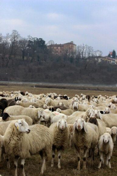 A Pralormo un gregge di pecore all'ombra del castello