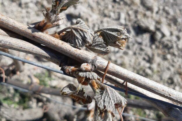 Le gelate danneggiano i raccolti: Cia Piemonte chiede lo stato di calamità naturale