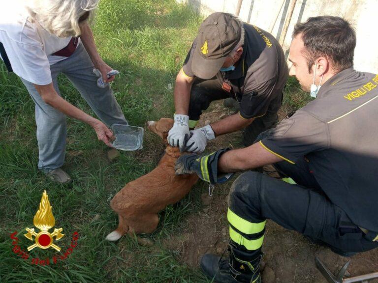 Asti, i vigili del fuoco salvano un cane incastrato in un canale di scolo